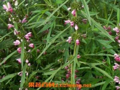 益母草的功效与作用及食用方法 益母草有哪些功效与作用