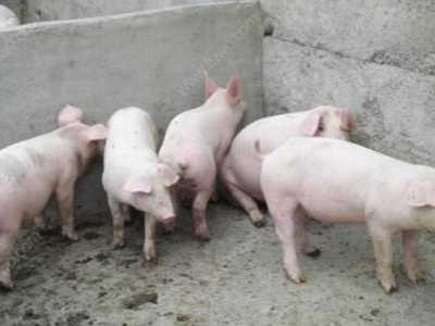 猪腹泻的治疗 小猪拉稀怎么办