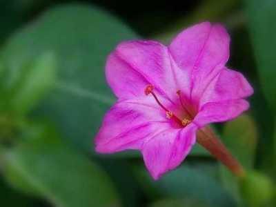 能做药的花 农村这种植物却被叫地雷花